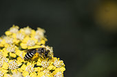Mining bee (Halictus sp) on yellow Yarrow flower in the garden, Nancy, France