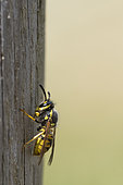 Common wasp (Paravespula -Vespula- vulgaris) on wooden pole: recovers wood to build its nest, Lorraine, France