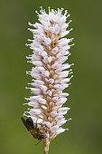 Tawny Mining Bee (Andrena fulva) on European bistort (Polygonum bistorta) floweer, Hautes chaumes, Hohneck, Vosges, France