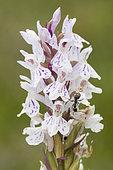 Fourmi noire (Lasius sp) sur Orchis tacheté (Dactylorhiza maculata) en fleurs, Hautes chaumes, Crêtes vosgiennes, Grand Ballon, Vosges, France