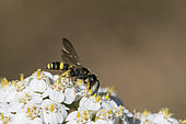 Digger wasp (Cerceris sp) on Milfoil (Achillea millefolium), Lorraine, France