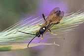 Parasitic hymenoptera (Ichneumonidae sp) on an ear, Lorraine, France