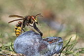 European hornet (Vespa crabro) eating a plum, Lorraine, France
