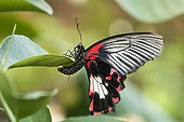 Scarlet Mormon (Papilio rumanzovia) laying on a Citrus leaf, Jean-Marie Pelt Botanical Garden, Nancy, Lorraine, France