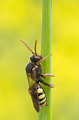 Cuckoo Bee (Nomada flava) on stem, Lorraine, France