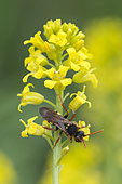Cuckoo Bee (Nomada flava) on yelow flower, Lorraine, France