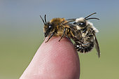 Spring Mining Bee (Colletes cunicularius) mating on human finger, Lorraine, France
