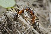 European Red Wood Ant (Formica polyctena) trophallaxis: social kissing: exchange of food, Lorraine, France
