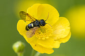 Yellow and black sawfly : Megalodont (Megalodontes sp) on Yellow Buttercup (Ranunculus sp) flower, Vosges, France