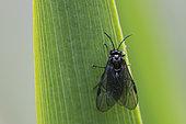 Sawfly (Rhadinoceraea micans-reitteri) on leaf, Jean-Marie Pelt botanical garden, Nancy, Lorraine, France
