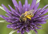 Mining bee (Halictus sp) covered with pollen on Salsify flower (Tragopogon sp), Jean-Marie Pelt botanical garden, Nancy, Lorraine, France