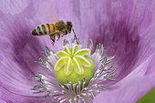 Abeille à miel (Apis mellifera) dans une fleur de Pavot somnifère (Papaver somniferum), Jardin botanique Jean-Marie Pelt, Nancy, Lorraine, France