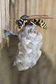 European paper wasp (Polistes dominula) on its nest, Lorraine, France