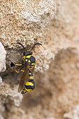 Potter wasp (Eumenes sp) and its pot, Sicily, Italy
