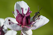 Mining Bee (Lasioglossum albipes) on Flowering rush (Butomus umbellatus), jardin des Plantes, France