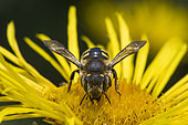 Cotton Bee (Anthidium manicatum) on Elecampane (Inula helenium), Jardin des Plantes, Paris, France