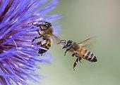 Abeille à miel (Apis mellifera) sur fleur d'Artichaut (Cynara scolymus), Jardin des Plantes, Paris, France