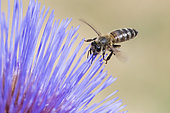 Honey bee (Apis mellifera) on Artichoke flower (Cynara scolymus), Jardin des Plantes, Paris, France