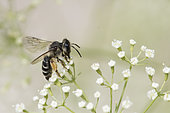 Yellow-legged Mining Bee (Andrena flavipes) on flower, burrowing species, Jardin des Plantes, Paris, France