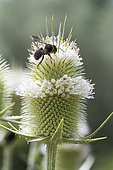 Cotton Bee (Anthidium manicatum) on Cut-leaved Teasel (Dipsacus laciniatus), Jardin des Plantes, Paris, France