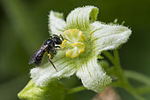 Wild bee: Solitary bee (Andrena sp) small bee on Bryony flower (Bryonia dioica), Jardin des Plantes, Paris, France