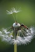 European Red Wood Ant (Formica polyctena) on dandelion achenes, Lorraine, France