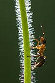 European Red Wood Ant (Formica polyctena) on a poppy stem, Lorraine, France