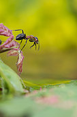 European Red Wood Ant (Formica polyctena) grooming on a leaf, Lorraine, France