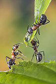 European Red Wood Ant (Formica polyctena) drinking a drop of water, mutual aid, Lorraine, France