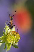 European Red Wood Ant (Formica polyctena) on Wild strawberry, Lorraine, France