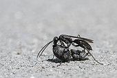 Spider Wasp (Auplopus carbonarius) parasitoid spider hunter, common in gardens, France