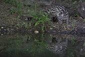 Common or European Genetta (Genetta genetta) at the water's edge by night