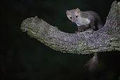 Beech marten (Martes foina) on a branch at night