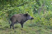 Wild boar (Sus scrofa), Tusker, Germany