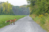 Red fox on path (Vulpes vulpes), Summer, Germany