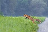 Jumping Red Fox (Vulpes vulpes), Germany