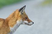Red Fox (Vulpes vulpes), Summer, Germany