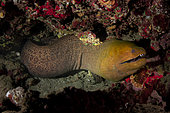 Close view Giant Moray(Gymnothorax javanicus) in reff, Tahiti, French polynesia