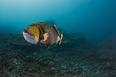 Wide view Titan Triggerfish (Balistoides viridescens) protecting his nest, Tahiti, French Polynesia