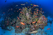 Wide view Bigscale Soldierfish (Myripristis berndti) school over a deep reef block, Rangiroa, French Polynesia