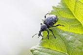 Weevil (Liparus glabrirostris) on a leaf, Oberammergau, Bavaria, Germany