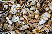 Wood chips made by European Beaver(Castor fiber), Pulvermoos moor nature reserve , Ammertal, Bavaria, Germany