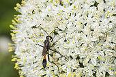 Sand digger wasp (Ammophila sabulosa) on garden garlic flower (Allium sp), Lorraine, France