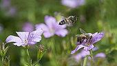 Honey bee (Apis mellifera) on garden flower, Lorraine, France