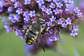 Cotton Bee (Anthidium manicatum) on Purpletop vervain (Verbena bonariensis), Jardin des Plantes, Paris, France