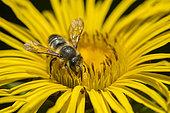 Patchwork leaf-cutter bee (Megachile centuncularis) on flower, Jardin des Palntes, Paris, France