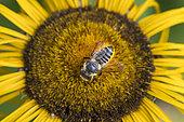 Patchwork leaf-cutter bee (Megachile centuncularis) on flower, pollen baskets under the abdomen, Jardin des Palntes, Paris, France