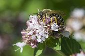 Great banded furrow-bee (Halictus scabiosae) on Sweet marjoram (Origanum majorana) flower, Lorraine, France