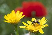Andrène a pattes jaunes (Andrena flavipes) sur une fleur, jardin botanique Jean-Marie Pelt, Nancy, Lorraine, France