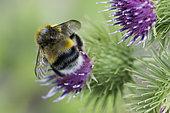 White-tailed Bumblebee (Bombus lucorum) on Burdock flower (Arctium sp), Lorraine, France